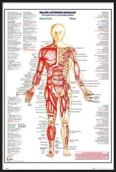 Ingelijste poster Human Body - Major Anterior Muscles