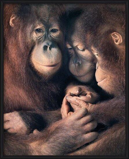 Tim Flach - Orangutan Family Poster